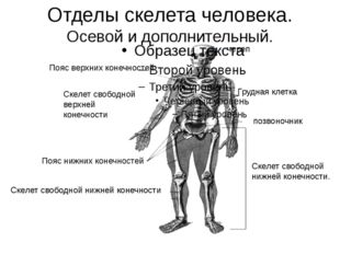 Отделы скелета человека. Осевой и дополнительный. Пояс верхних конечностей Ск