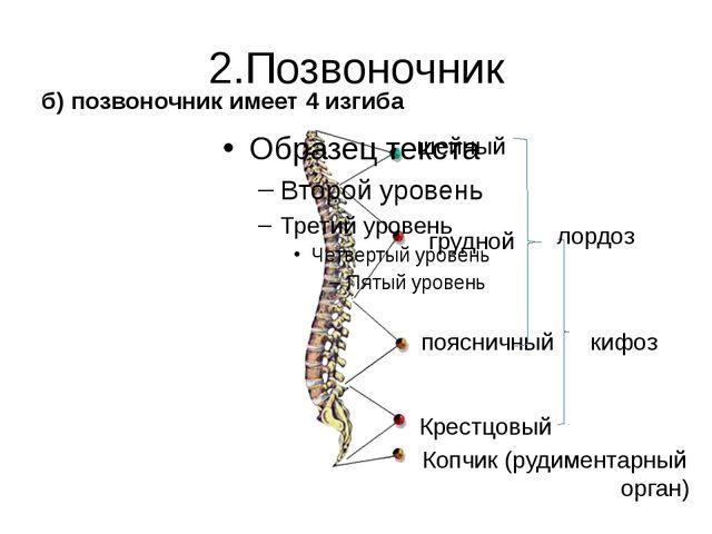 2.Позвоночник б) позвоночник имеет 4 изгиба шейный грудной поясничный Крестцо...