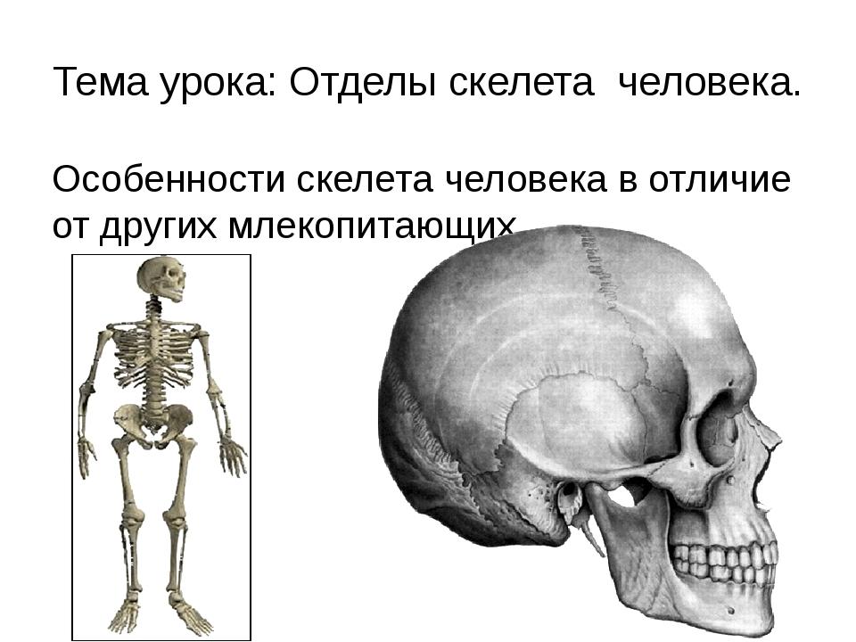 Тема урока: Отделы скелета человека. Особенности скелета человека в отличие о...