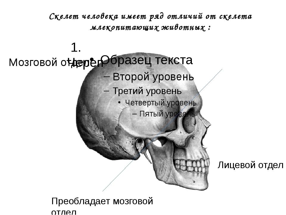 Скелет человека имеет ряд отличий от скелета млекопитающих животных : Мозгово...