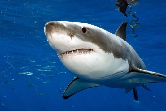 http://animalbox.ru/wp-content/uploads/2011/02/great-white-shark1.jpg
