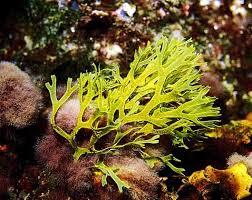 Картинки по запросу водоросли