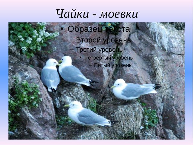 Чайки - моевки