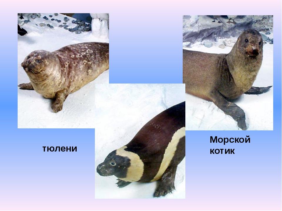Морской котик тюлени