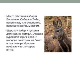 Место обитания кабарги ВосточнаяСибирьиТибет, населяя крутые склоны гор,