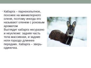 Кабарга – парнокопытное, похожее на миниатюрного оленя, поэтому иногда его на
