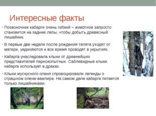 Интересные факты Позвоночник кабарги очень гибкий – животное запросто станови