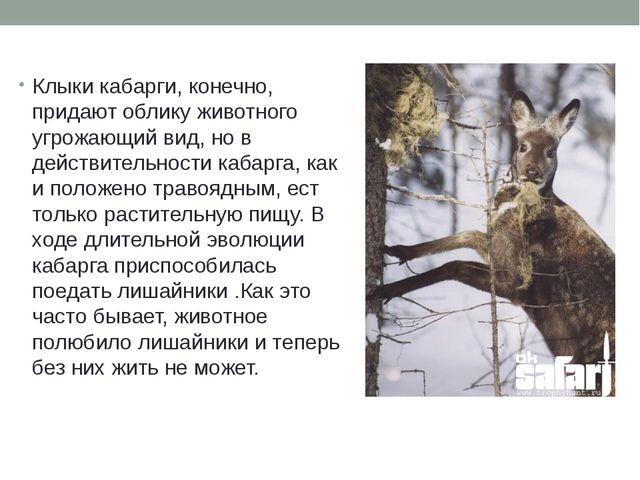 Клыки кабарги, конечно, придают облику животного угрожающий вид, но в действи...