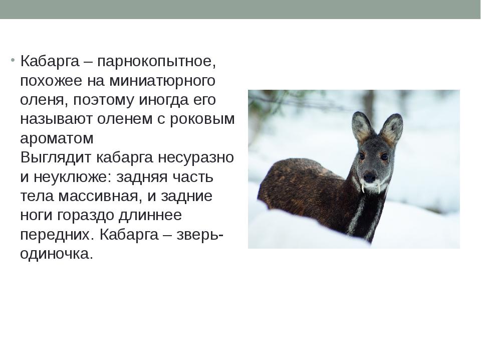 Кабарга – парнокопытное, похожее на миниатюрного оленя, поэтому иногда его на...