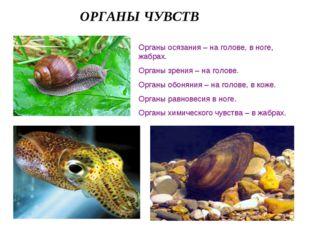 ОРГАНЫ ЧУВСТВ Органы осязания – на голове, в ноге, жабрах. Органы зрения – на