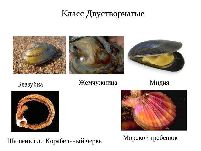 Класс Двустворчатые Беззубка Жемчужница Мидия Шашень или Корабельный червь Мо...