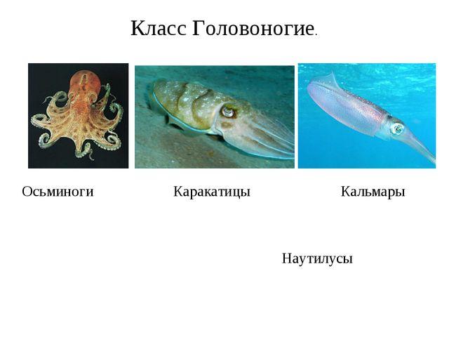 Класс Головоногие. Осьминоги Каракатицы Кальмары Наутилусы