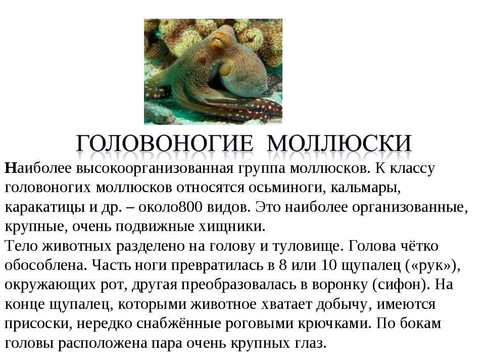 Наиболее высокоорганизованная группа моллюсков. К классу головоногих моллюско...