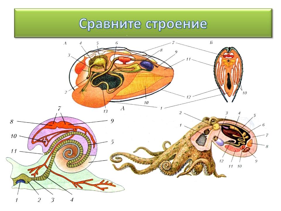 строение моллюсков картинки такому