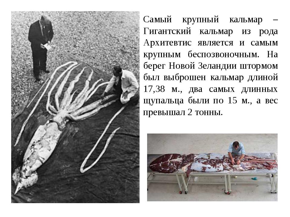 Самый крупный кальмар – Гигантский кальмар из рода Архитевтис является и самы...