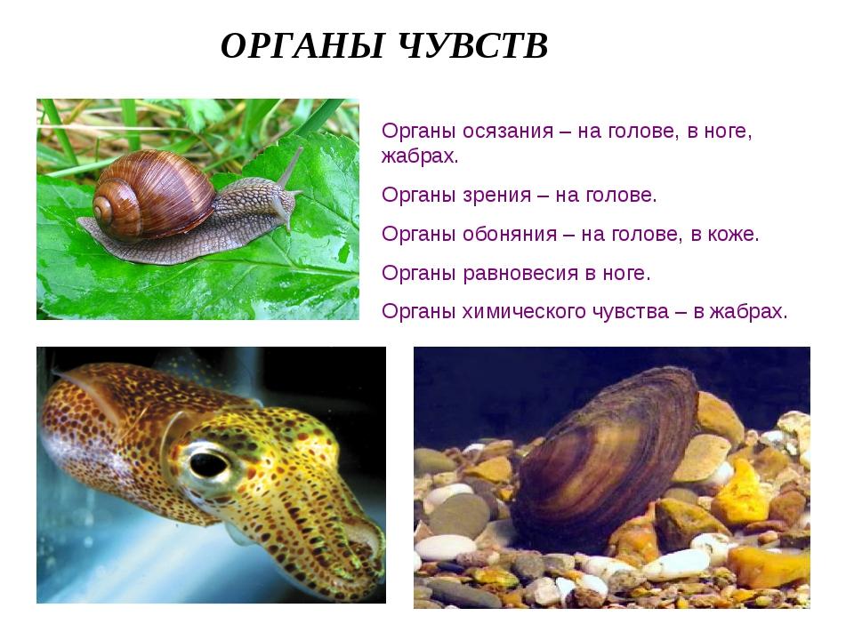ОРГАНЫ ЧУВСТВ Органы осязания – на голове, в ноге, жабрах. Органы зрения – на...