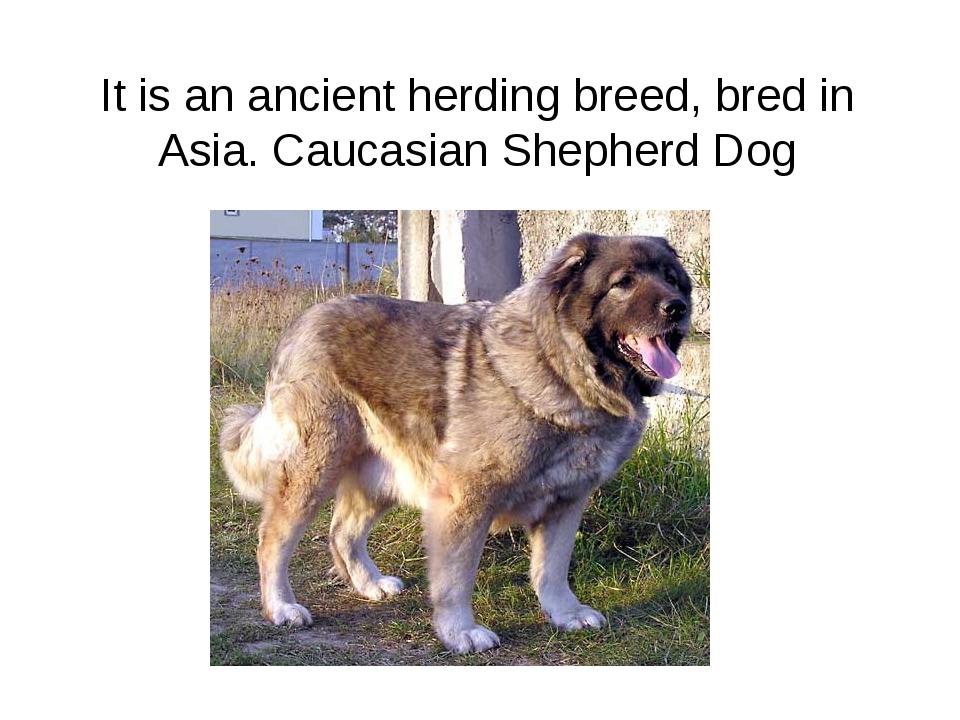 It is an ancient herding breed, bred in Asia. Caucasian Shepherd Dog