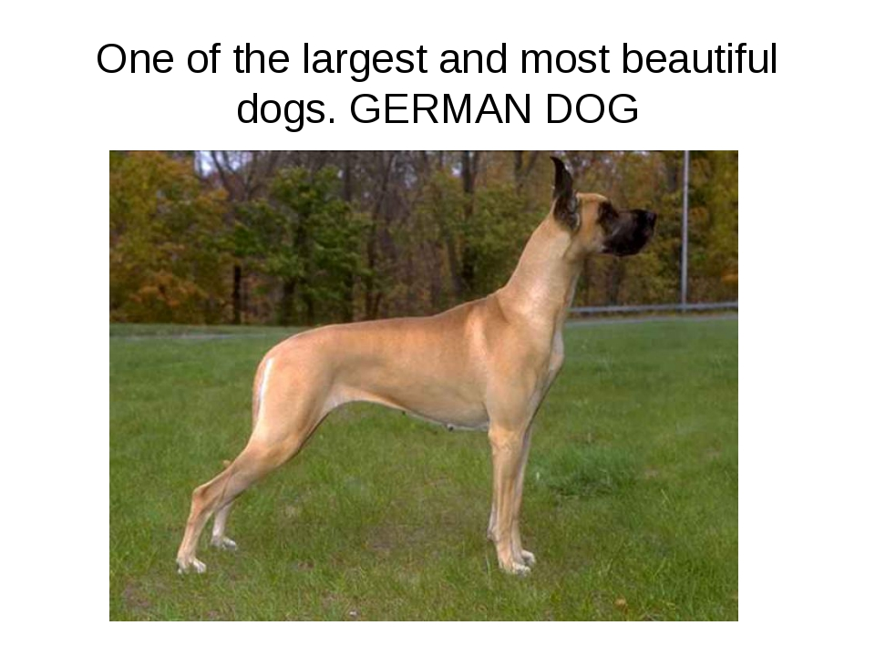 One of the largest and most beautiful dogs. GERMAN DOG