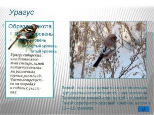 Гаичка Оседлая, частично кочующая птица. Пухляком эту птицу называют за манер