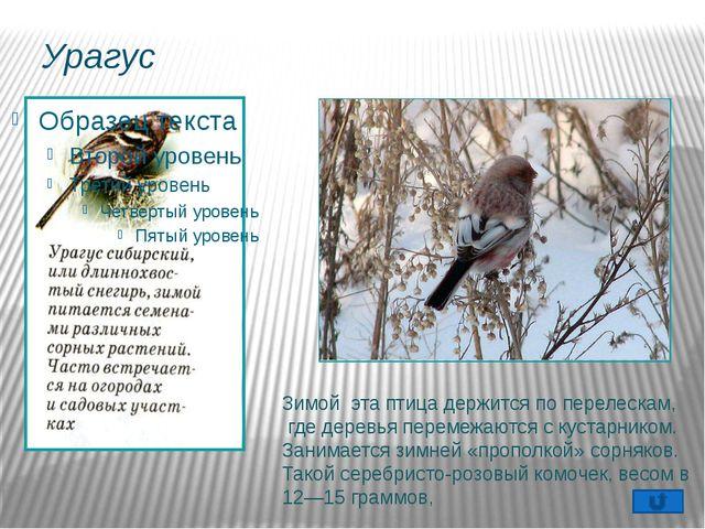 Гаичка Оседлая, частично кочующая птица. Пухляком эту птицу называют за манер...