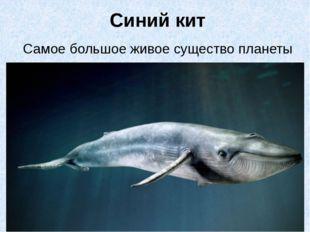 Синий кит Самое большое живое существо планеты