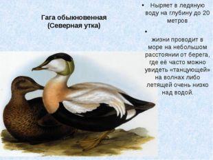 Гага обыкновенная (Северная утка) Ныряет в ледяную воду на глубину до 20 метр