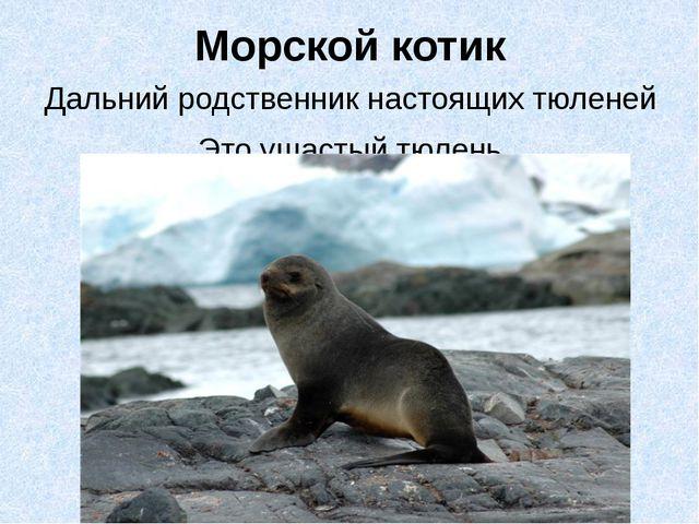 Морской котик Дальний родственник настоящих тюленей Это ушастый тюлень