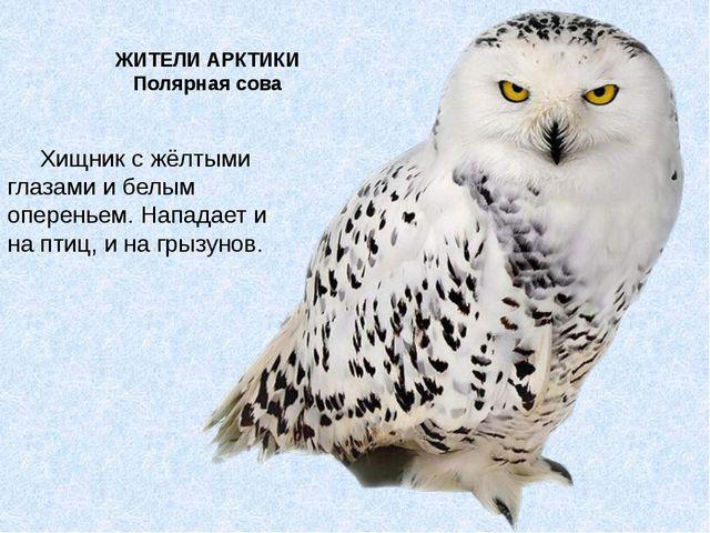 ЖИТЕЛИ АРКТИКИ Полярная сова Хищник с жёлтыми глазами и белым опереньем. Напа...