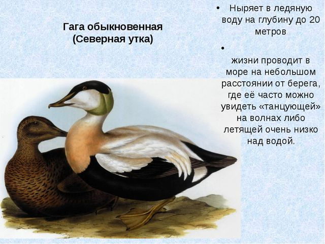 Гага обыкновенная (Северная утка) Ныряет в ледяную воду на глубину до 20 метр...