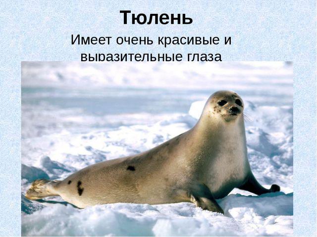 Тюлень Имеет очень красивые и выразительные глаза