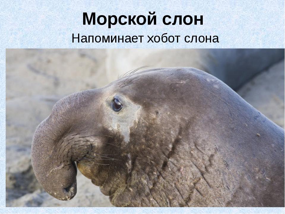Морской слон Напоминает хобот слона