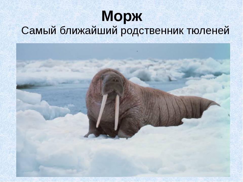 Морж Самый ближайший родственник тюленей
