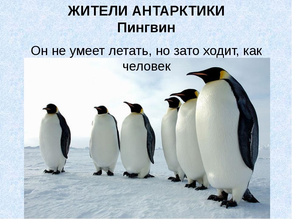 ЖИТЕЛИ АНТАРКТИКИ Пингвин Он не умеет летать, но зато ходит, как человек