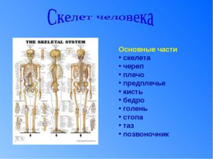 Основные части скелета череп плечо предплечье кисть бедро голень стопа таз по