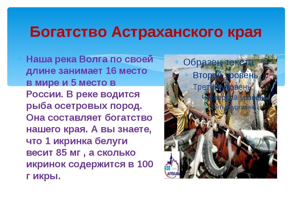 Богатство Астраханского края Наша река Волга по своей длине занимает 16 место...