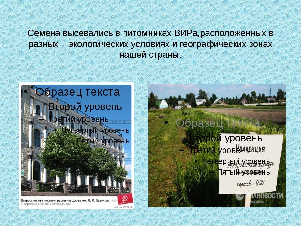 Семена высевались в питомниках ВИРа,расположенных в разных экологических усло...