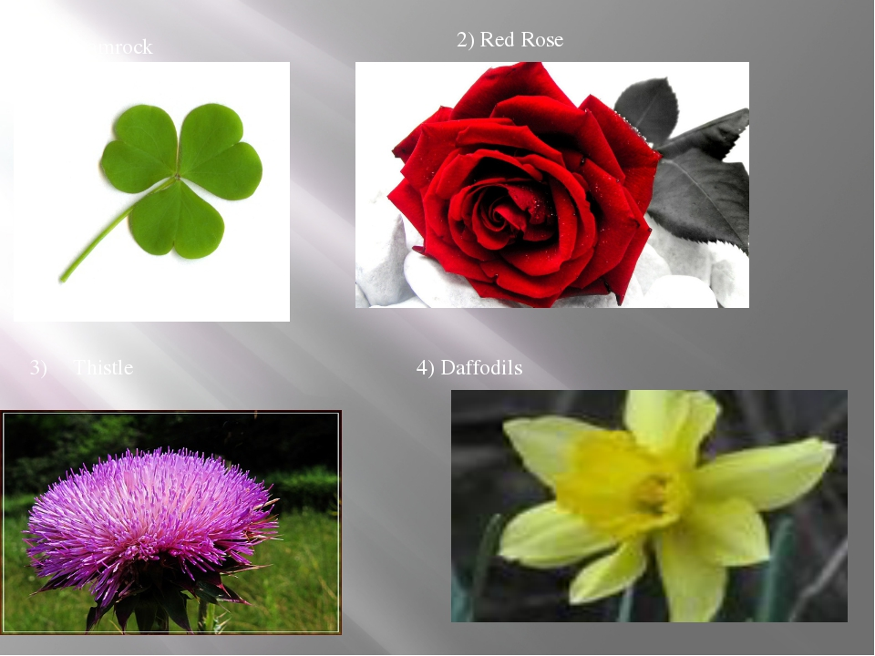1) Shamrock 2) Red Rose 3) Thistle 4) Daffodils