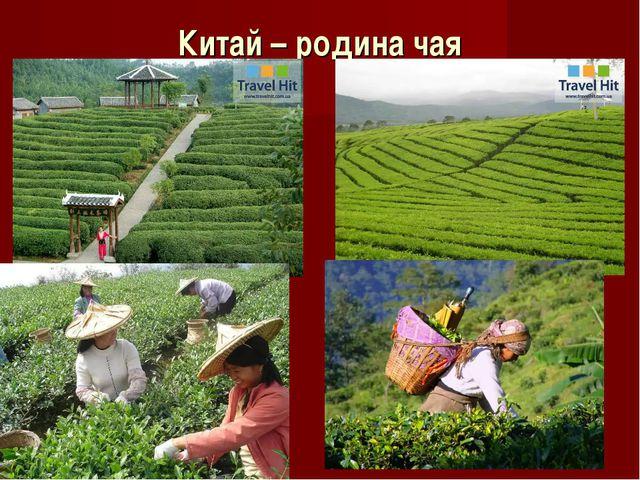 Китай – родина чая