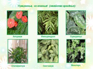 Прекрасные, но опасные! (семейство ароидных): Антуриум Филодендрон Сциндапсус