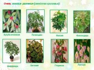 Очень опасные растения (семейство аралиевые): Аукуба японская Полисциас Фатс