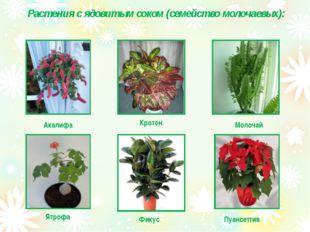 Растения с ядовитым соком (семейство молочаевых): Акалифа Кротон Молочай Пуа