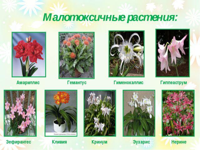 Малотоксичные растения: Амариллис Гемантус Гименокаллис Гиппеаструм Зефиранте...