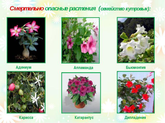 Смертельно опасные растения (семейство кутровых): Адениум Алламанда Бьюмонтия...