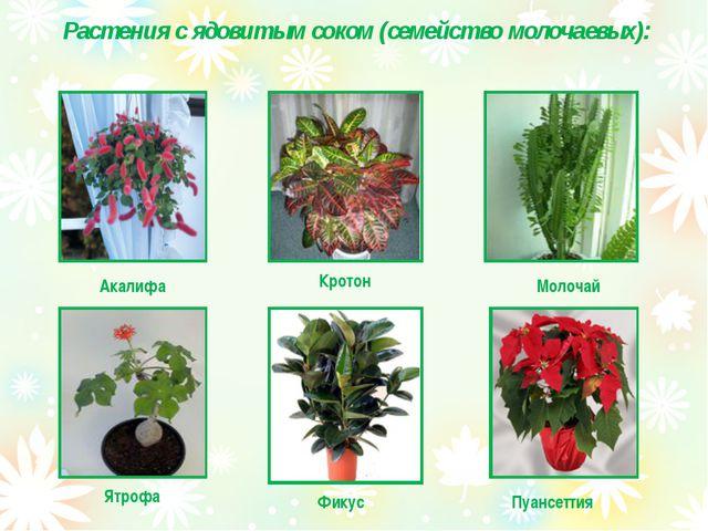 Растения с ядовитым соком (семейство молочаевых): Акалифа Кротон Молочай Пуа...