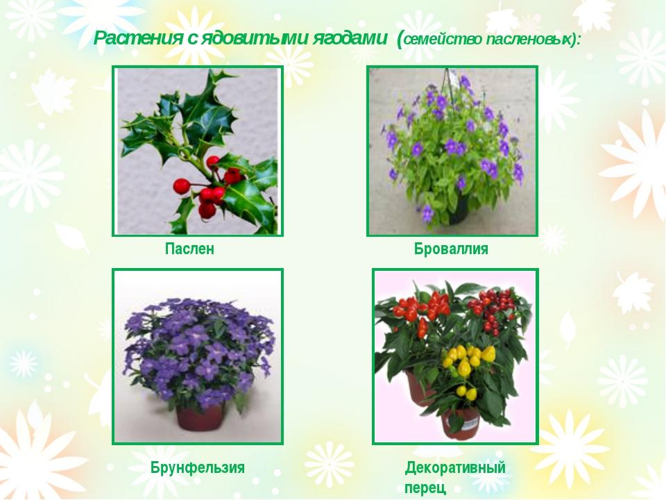 Растения с ядовитыми ягодами (семейство пасленовых): Паслен Броваллия Брунфел...