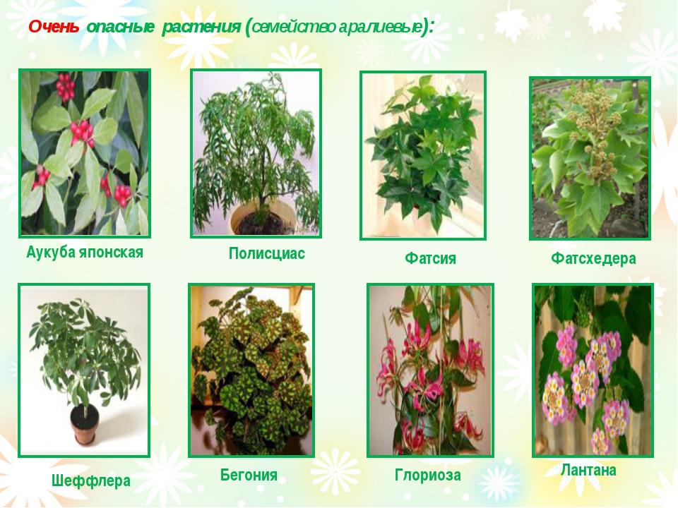 Очень опасные растения (семейство аралиевые): Аукуба японская Полисциас Фатс...