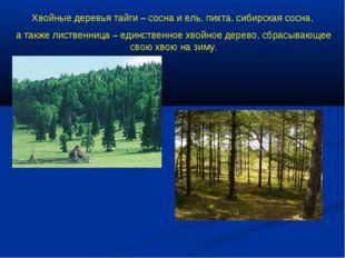 Хвойные деревья тайги – сосна и ель, пихта, сибирская сосна, а также лиственн