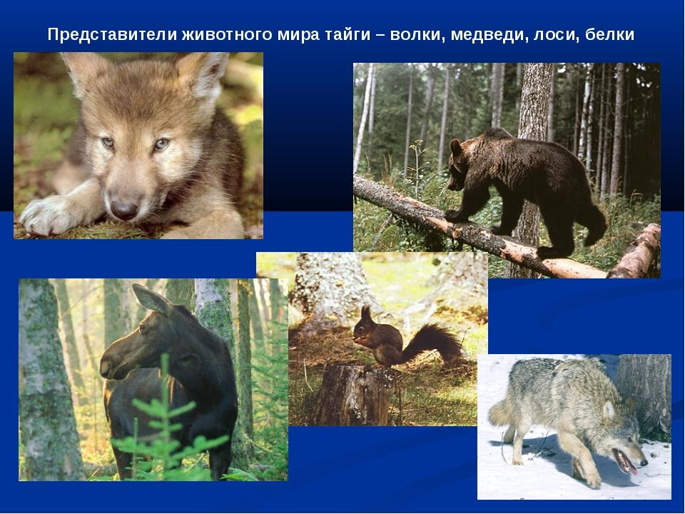 Представители животного мира тайги – волки, медведи, лоси, белки
