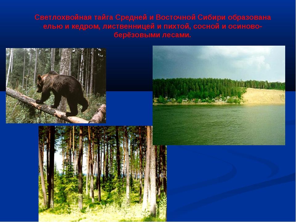 Светлохвойная тайга Средней и Восточной Сибири образована елью и кедром, лист...