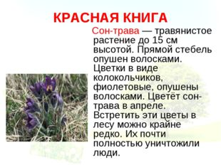 КРАСНАЯ КНИГА Сон-трава — травянистое растение до 15 см высотой. Прямой стебе